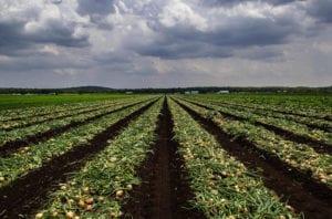 Tilled rows on a farm field