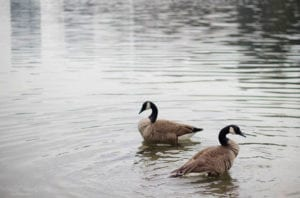 Two Canada geese in a pond