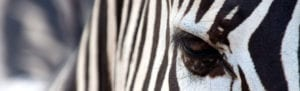 close up of zebra's eye