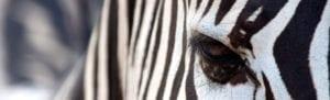 Close up of a zebra's eye