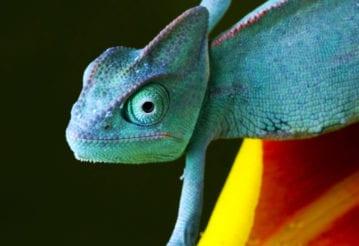 A blue chameleon.