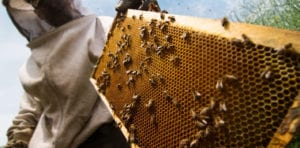 An angled shot of a beekeeper holding a hive frame full of honeycomb